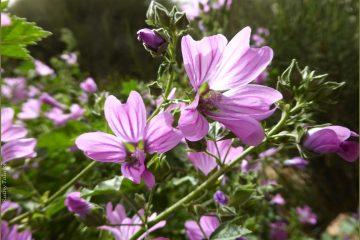 ליקוט פרחי חוביזה