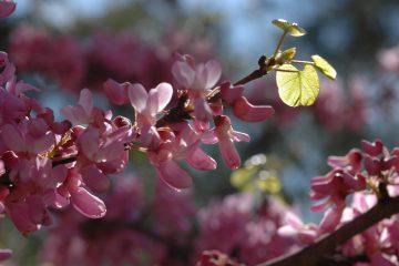 ליקוט פרחי כליל החורש