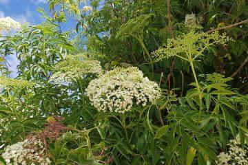 ליקוט פרחי סמבוק שחור