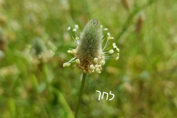 צמחי מרפא לטיפול בשיעול יבש ושיעול בכלל – לחך וטימין