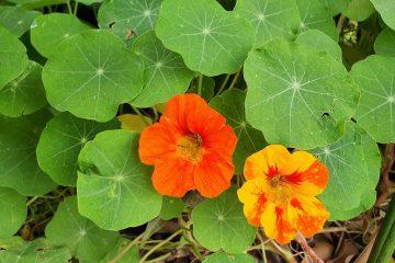 ליקוט כובע הנזיר – פרחים אכילים – שפע ויטמין C ומניעת מחלות