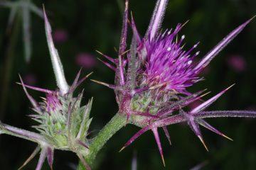 ליקוט פרחי ברקן